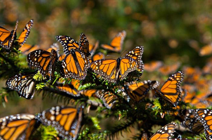 Santuarios de mariposa Monarca del Estado de México