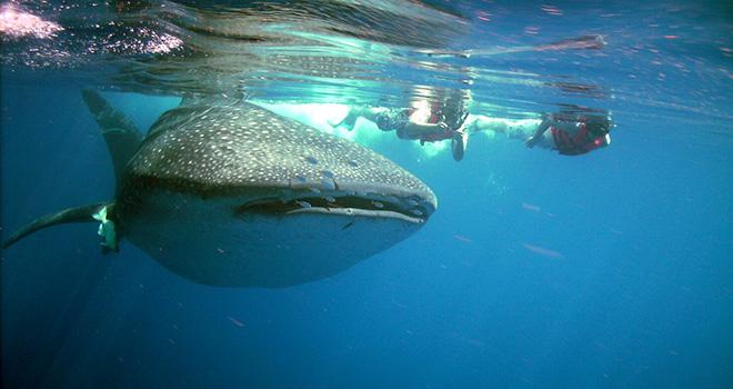 Nado con tuburones ballena