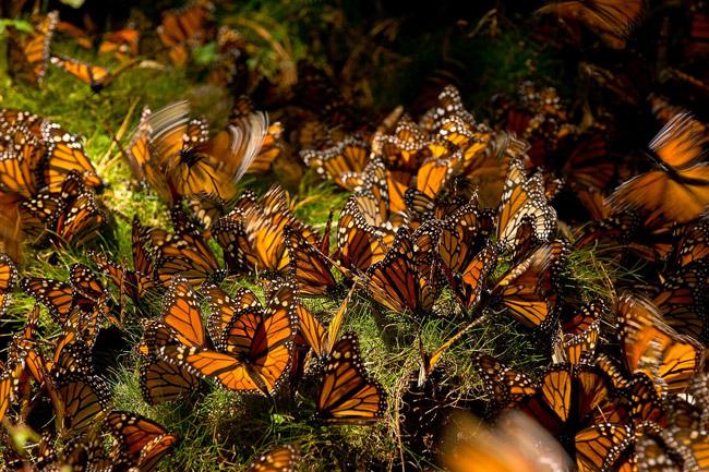 Santuarios de la Mariposa Monarca en Michoacán