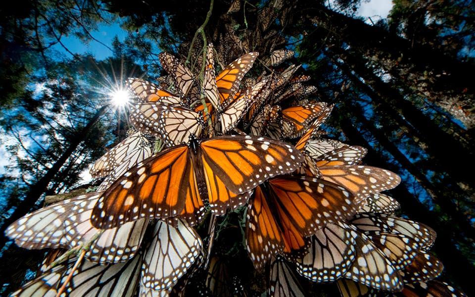 Comcentración de mariposas monarcas en el tronco de los árboles