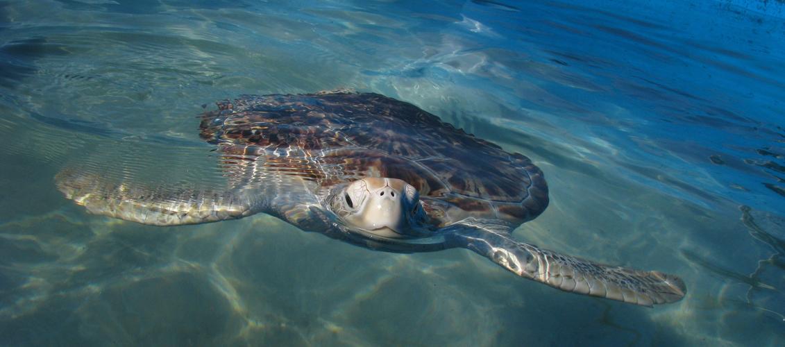 En época estival las tortugas marinas depositan sus huevos en la arena de Isla Contoy